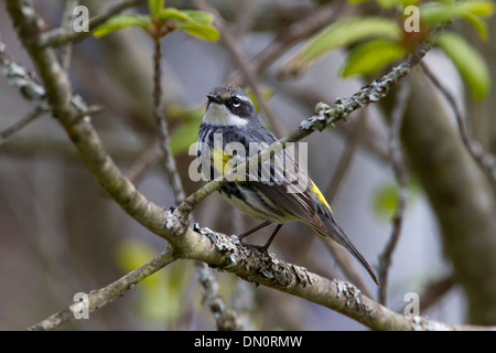 Yellow-rumped Warbler (Setophaga coronata) myrtle male perched in tree at Brookwood Marsh, Nanaimo, Vancouver Is, - Stock Photo