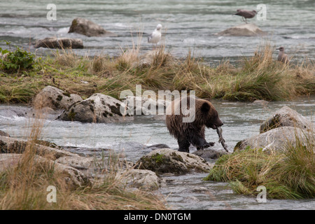 Young grizzly bear with a salmon in the Chilkat river near Haines Alaska in early fall. - Stock Photo