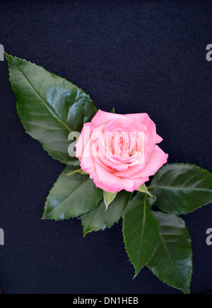 A Single Pink Rose & Leaves on Black Felt Background on Display at the  Harrogate Autumn Flower Show Yorkshire - Stock Photo