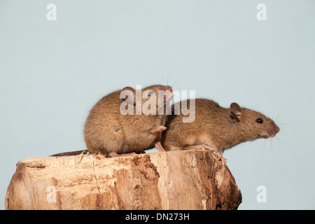 The house mouse (Mus musculus) - Stock Photo