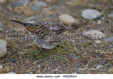 Juvenile Rufous-collared Sparrow (Zonotrichia capensis) feeding on the ground. - Stock Photo