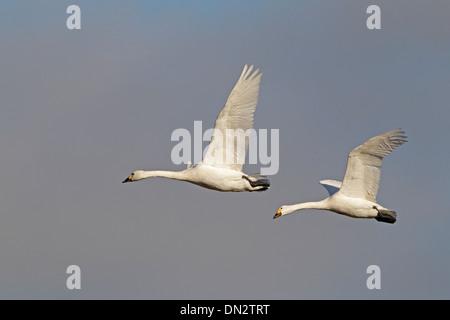 Pair of adult Bewick's Swans in flight - Stock Photo