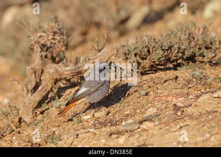 Male Black Redstart on the ground - Stock Photo