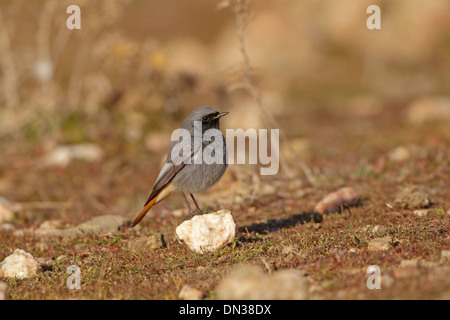 Male Black Redstart perched on a small rock - Stock Photo
