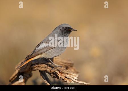 Male Black Redstart - Stock Photo