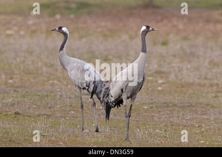 Two adult Common Cranes - Stock Photo