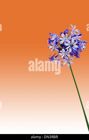 Agapanthus isolated Stock Photo