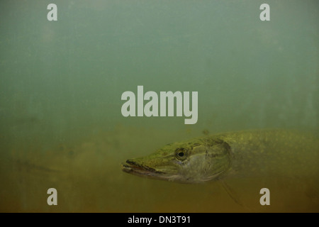 A northern pike in green murky water. - Stock Photo