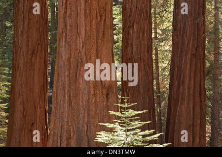 Giant Sequoia trees (Sequoiadendron giganteum) in Mariposa Grove, Yosemite National Park, California, USA. - Stock Photo