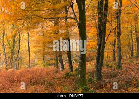 Autumn colours in deciduous woodland, Exmoor National Park, Devon, England. Autumn (November) 2013. - Stock Photo