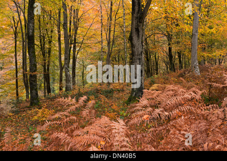 Deciduous woodland in autumn, Exmoor, Devon, England. November 2013. - Stock Photo