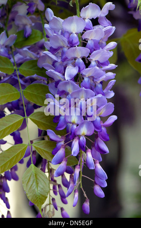 Purple-violet and white, Wisteria flower blossoms hand down from the tree. - Stock Photo
