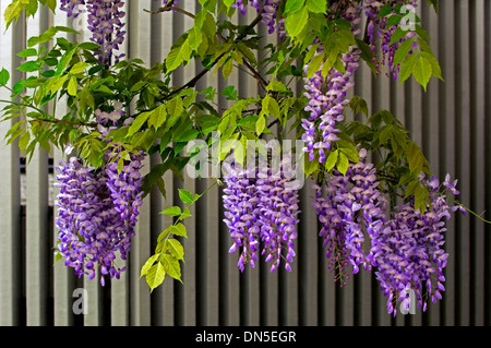 Purple-violet and white, Wisteria flower blossoms hand down from the tree against a cream colored slat wooden fence. - Stock Photo