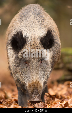 Close-up of an adult wild boar (sus scrofa) in autumn leaves, Bavarian Forest National Park - Stock Photo