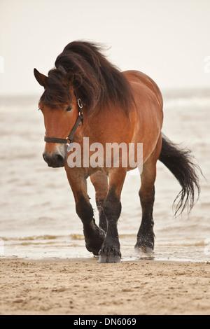 Belgian Draft Horse gelding, roaming free on the beach of Borkum, Lower Saxony, Germany - Stock Photo