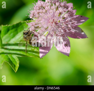 A busy Bee collecting nectar from a pink flower in a garden. - Stock Photo