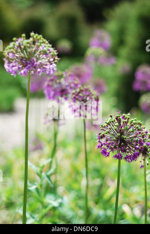 Round violet inflorescences against the blurred green flowerbed - Stock Photo