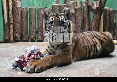 Prague, Czech Republic. 19th Dec, 2013. A baby of critically endangered Sumatran tiger pictured in the Zoo in Prague, - Stock Photo
