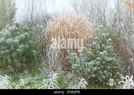 Frost on young Scots pine , Pinus sylvestris (right), stone pine (Pinus pinea) (left) and Miscanthus - Stock Photo
