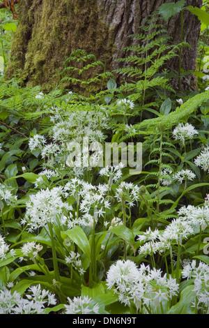 Wild Garlic or Ramsoms, Allium ursinum, in flower in a woodland glade. - Stock Photo