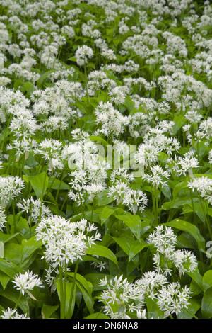Wild Garlic or Ramsoms, Allium ursinum, in a woodland glade. - Stock Photo