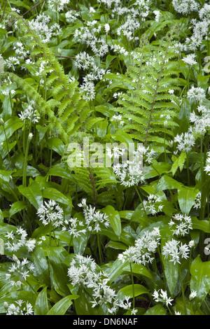 Wild Garlic or Ramsoms, Allium ursinum, and ferns in a woodland glade. - Stock Photo