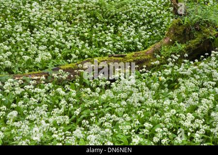 Wild Garlic or Ramsoms, Allium ursinum, surrounding a fallen tree trunk in a woodland glade, Ilston. - Stock Photo
