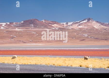 Llamas at Laguna Colorada (red lagoon), Reserva de Fauna Andina Eduardo Avarda, Bolivia, South America