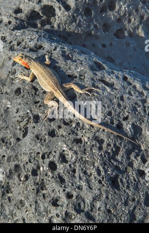 Galapagos Lava Lizard (Microlophus albemarlensis) - Stock Photo