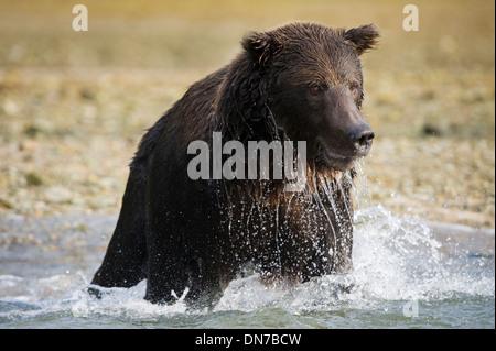 Grizzly bear (Ursus arctos) fishing in river, up close, Katmai national park, Alaska, USA. Stock Photo