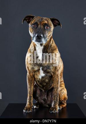 Staffordshire Bull Terrier cross. - Stock Photo