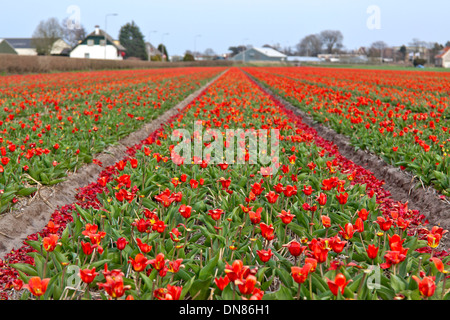 The end of spring and the tulip season, Lisse, near Keukenhof, South Holland, The Netherlands. - Stock Photo
