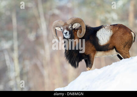 A bighorn sheep ram stands on a mountain in winter in the snow - Stock Photo