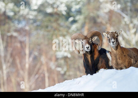 A bighorn sheep ram stands together with a female animal on a mountain in winter in snow - Stock Photo