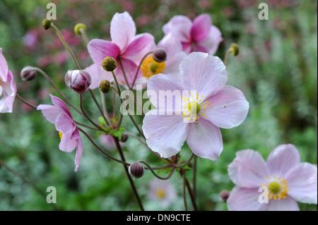 Pink Japanese Anemone flowers Anemone hupehensis - Stock Photo