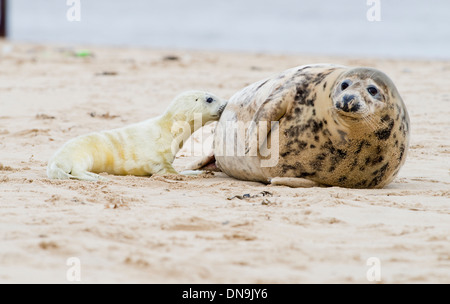 Grey seal pup weaning from its mum - Stock Photo