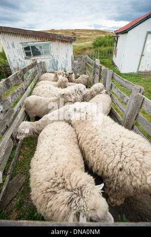Sheep herded into pen on a farm in Punta Arenas Chile - Stock Photo