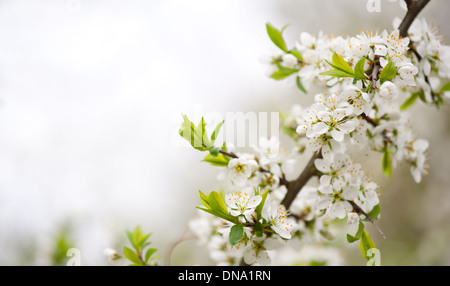 Blooming Cerasus cherry tree twig - Stock Photo