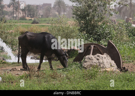 Water Buffalo . - Stock Photo