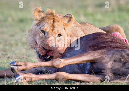 Young male lion feeding on a wildebeest in Kenya - Stock Photo