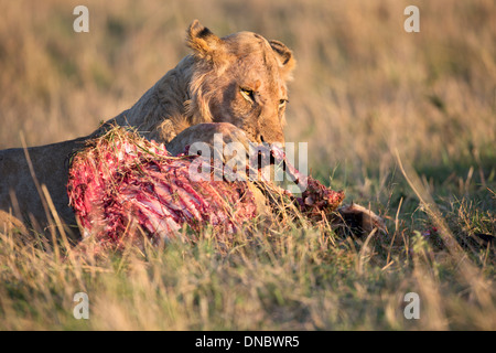 Young male lion on kill in Mara Reserve of Kenya - Stock Photo