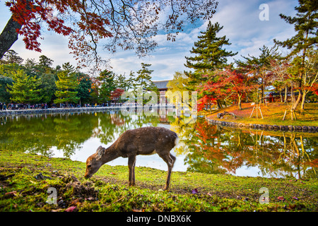 Deer grazes near Todai-ji Temple in Nara, Japan. - Stock Photo