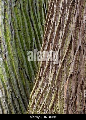 Contrasting twisted tree bark on two adjacent Sweet Chestnut (Castanea Sativa) tree trunks - Stock Photo