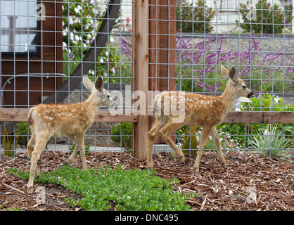 Two Young Black tailed Deer Fawns - Stock Photo