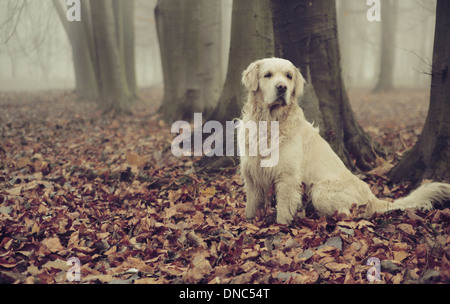 Golden retriever in colorful autumn forest - Stock Photo