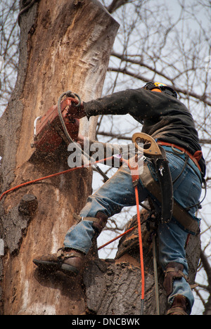 Dangerous jobs: An urban arborist using a chainsaw to removed a large diseased oak tree. - Stock Photo