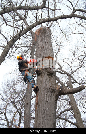 Dangerous jobs: An urban arbourist using a chainsaw to removed a large diseased oak tree. - Stock Photo