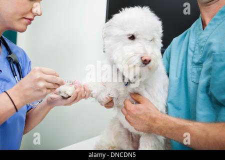 Dog Blood Sample - Stock Photo