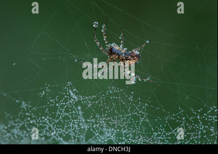 Neriene montana spider of Linyphiidae family covered with dew drops - Stock Photo