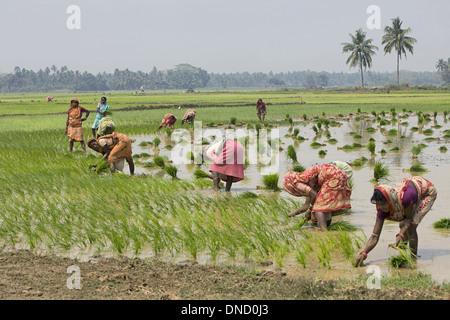 People working in Paddy fields near pipilipuri, Orissa - Stock Photo